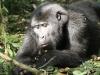best-gorilla-pics-1