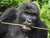 best-gorilla-pics-11