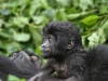 best-gorilla-pics-12