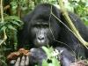 best-gorilla-pics-13