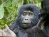 best-gorilla-pics-2