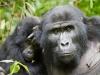 best-gorilla-pics-3