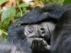best-gorilla-pics-4