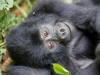 best-gorilla-pics-5