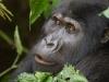 best-gorilla-pics-6