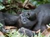 best-gorilla-pics-7
