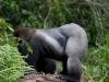 best-gorilla-pics-9
