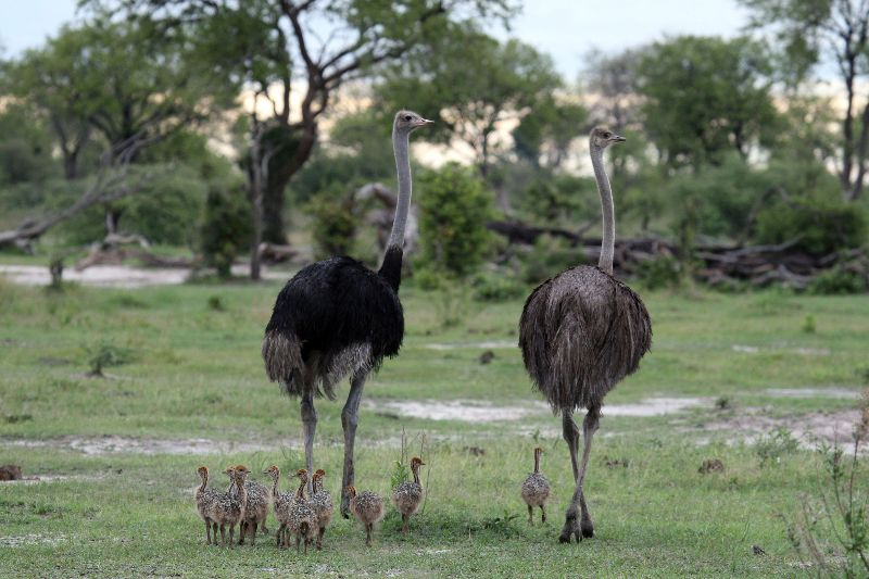 ostrich-family