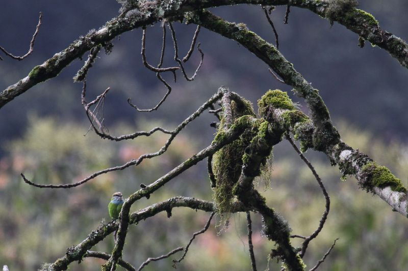 The rare African Green Broadbill, Ruhija region of Bwindi Forest