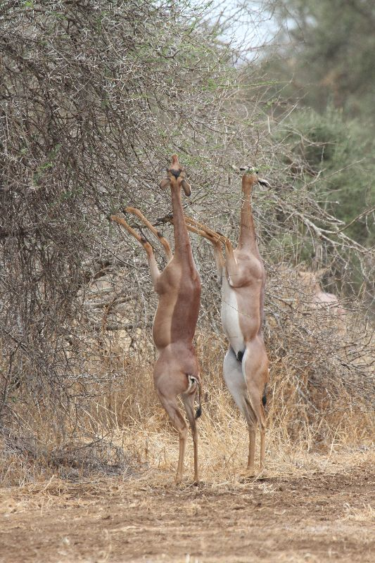 The crazy looking Gerenuk antelope