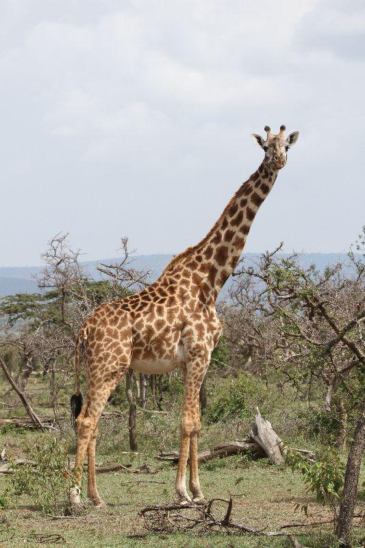 The Maasai giraffe