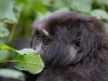 A glance from a gorilla