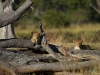 Mwamba Pride cubs - South Luangwa Valley, Zambia