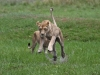 Duba Plains lioness takes to the air