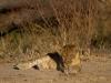 Lion cub - Zambia 2012