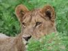 Sub-adult male, future king of the Duba Lions