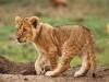 Masai Mara lion cub, Kenya