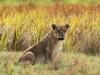 Duba Plains cub, Botswana