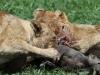 Tsaro Pride warthog kill