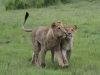 Tsaro Pride sub-adults lions