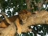 Tree climbing lions - Queen Eliizabeth National Park, Uganda