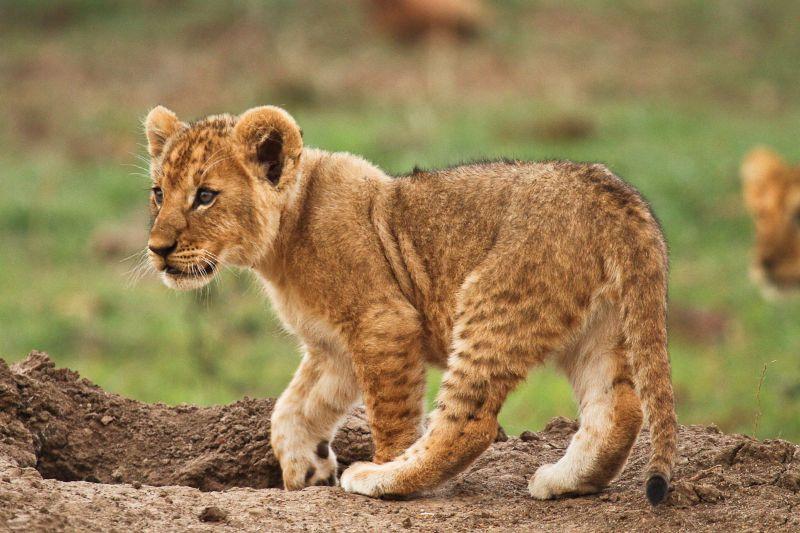 ol-kinyei-lion-cub_2