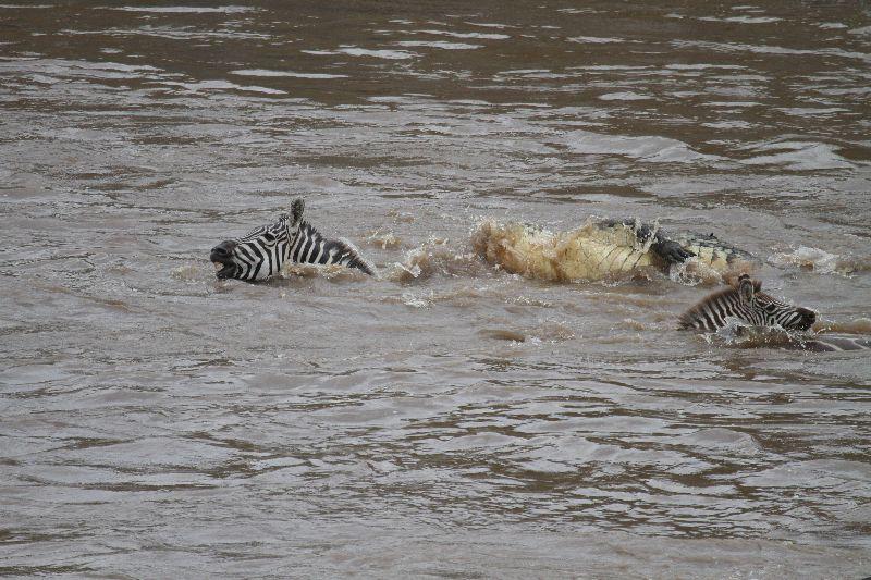 zebra-croc_02