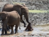 Time for lessons - Forest Elephants, CAR