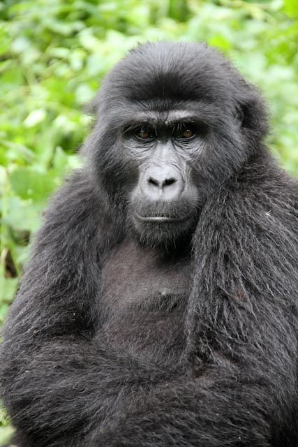 Adult Female, Habinyanja family -Bwindi, Ugdanda