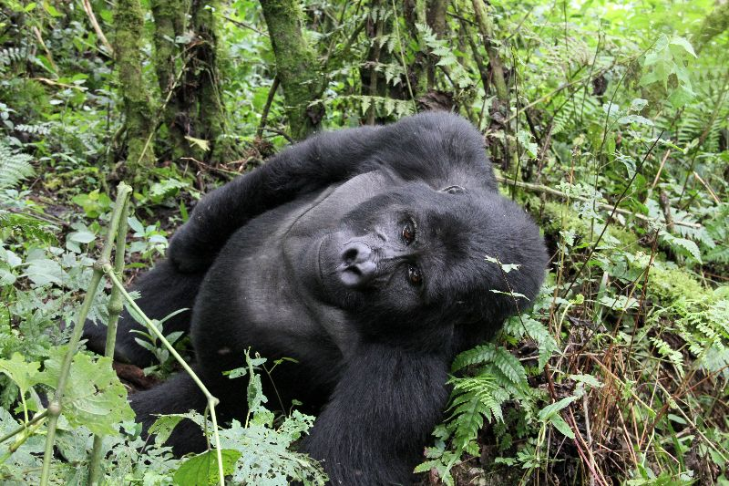Gentle giants of the Bwindi Forest