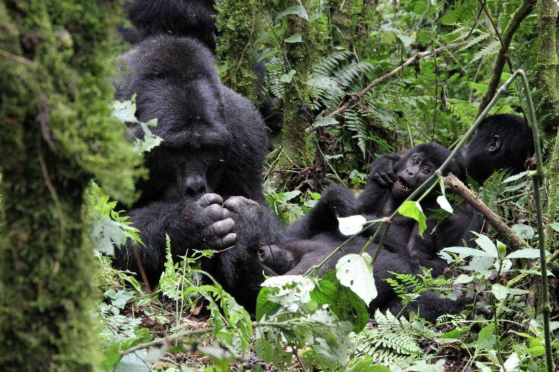 Silverback Makara - Bwindi Forest, Uganda