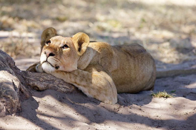 Single Young Lion Cub in the shade, South Africa