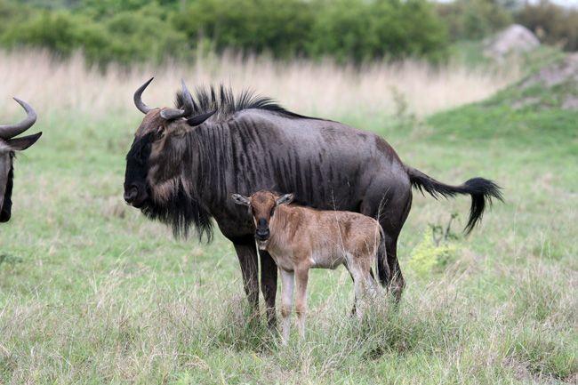 mother-calf