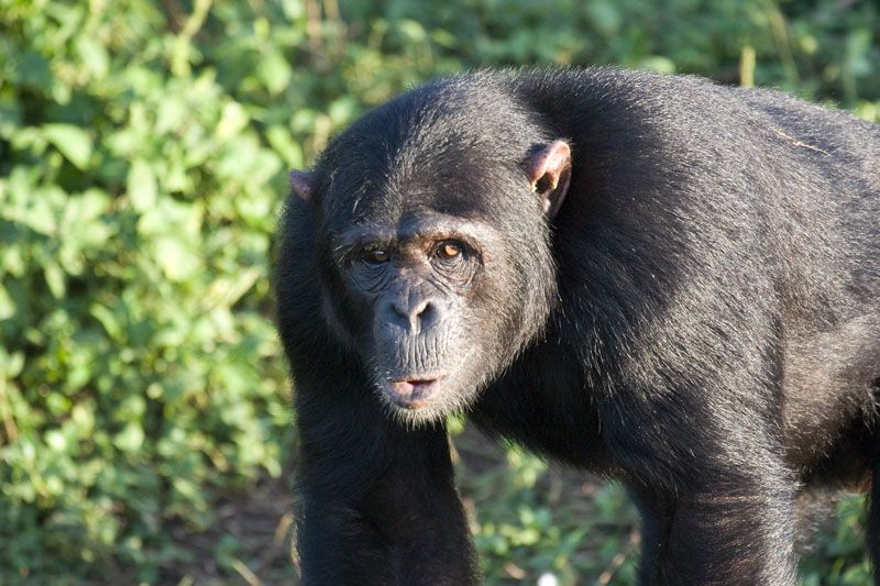 male-chimp
