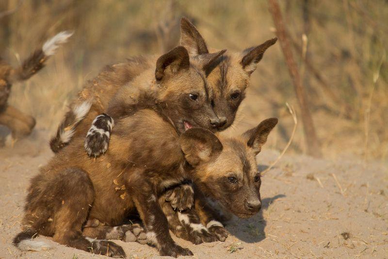 African Wild Dog pups, Botswana