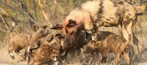 Feeding time, Selinda, Botswana