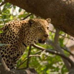 Abundant leopards