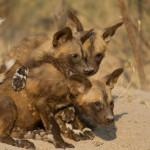 botswana-wild-dogs