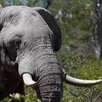 male-elephant