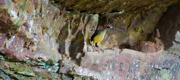 Red Headed Picathartes - by its nest in the cave