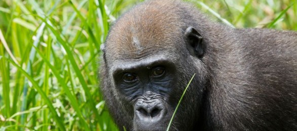 Female western lowland gorilla, CAR