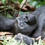 car-western lowland-gorilla-female