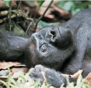 Western Lowland Gorillas (CAR)