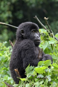 Infant Mountain Gorilla – Habinyanja Family