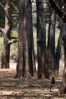 Ebony forest, South Luangwa Valley