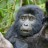 Best Gorilla Pics