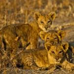 Lion cubs - 007