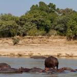 Hippos galore