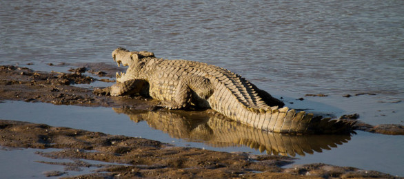 Basking on the banks of the Luangwa River