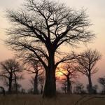 Africa's beautiful baobab tree